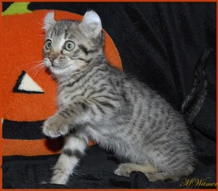 Male Highlander Kitten